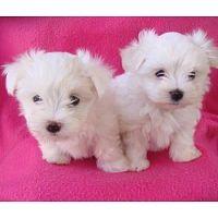 Hermosos cachorros maltés blancos disponibles